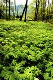 Feld des Blühens kann Äpfel Stockfoto