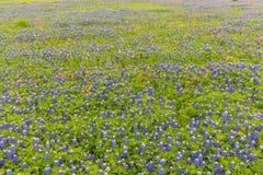 Feld des Bluebonnet und des indischen Malerpinsels in Ennis, Texas Stockfotos