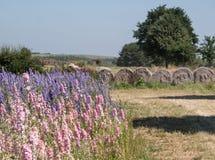 Feld des bunten Rittersporns blüht im Docht, Pershore, Worcestershire, Großbritannien, mit Ballen Heu im Hintergrund stockbild
