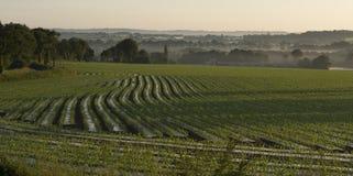 Feld des eben gepflanzten Mais für Viehzufuhr stockbilder