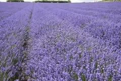 Feld des englischen Lavendels im Sommer Lizenzfreies Stockfoto