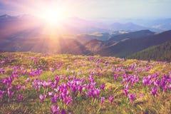 Feld des ersten blühenden Frühlinges blüht Krokus, sobald Schnee auf dem Hintergrund von Bergen im Sonnenlicht absteigt stockfotografie