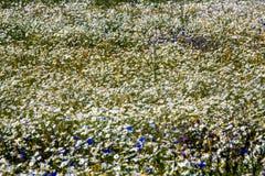 Feld des Gänseblümchens lizenzfreie stockbilder