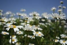 Feld des Gänseblümchens Stockbild