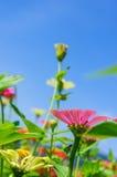 Feld des Gänseblümchens blüht buntes Lizenzfreie Stockfotos