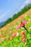 Feld des Gänseblümchens blüht buntes Lizenzfreies Stockfoto