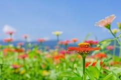 Feld des Gänseblümchens blüht buntes Lizenzfreie Stockfotografie