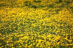 Feld des gelben Löwenzahns stockfoto