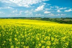 Feld des gelben Rapssamens gegen den blauen Himmel Stockbilder