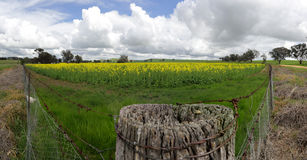 Feld des goldenen Canola Stockfoto