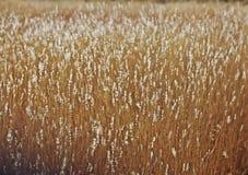Feld des goldenen Grases im Spätsommer Sun Lizenzfreie Stockfotografie