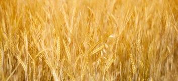 Feld des goldenen Weizens stockbild