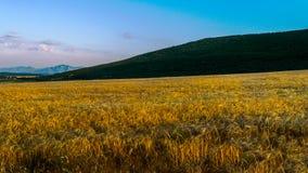 Feld des goldenen Weizens stockfotografie