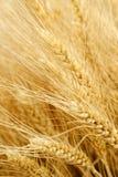 Feld des goldenen Weizens Stockfoto