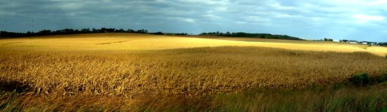 Feld des Goldes Stockbilder