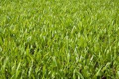 Feld des grünen Grases Lizenzfreies Stockfoto