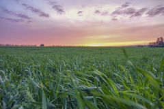 Feld des grünen Grases bei Sonnenuntergang Stockfoto