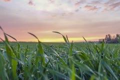 Feld des grünen Grases bei Sonnenuntergang Stockfotos