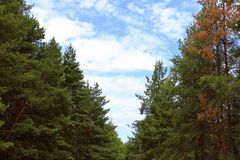 Feld des grünen Grases gegen einen blauen Himmel mit wispy weißen Wolken Grüne Kiefer und blauer Himmel Natur, Reise, Ökologie-Ko lizenzfreie stockfotos