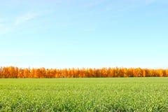 Feld des grünen Grases gegen einen blauen Himmel mit wispy weißen Wolken Grüne Rasenfläche gegen Stockfoto