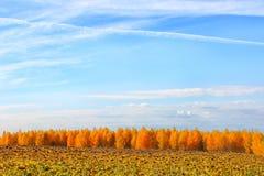 Feld des grünen Grases gegen einen blauen Himmel mit wispy weißen Wolken reife Sonnenblume, Feld, Bäume im Herbst gegen Stockfotos