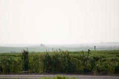 Feld des grünen Grases ohne Wolken Stockbild