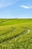 Feld des grünen Kornes und des bewölkten blauen Himmels Stockfotografie