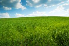 Feld des grünen Mais Stockfoto