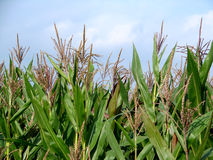 Feld des grünen Mais Lizenzfreie Stockfotos