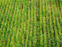 Feld des grünen Mais Stockfotografie