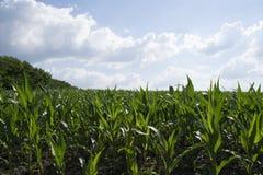 Feld des grünen Mais Lizenzfreies Stockbild