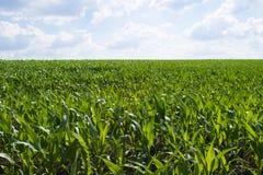 Feld des grünen Mais Stockbilder