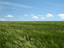 Feld des grünen Roggens lizenzfreie stockbilder