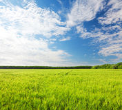 Feld des grünen Roggens und des blauen bewölkten Himmels lizenzfreie stockbilder