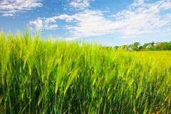 Feld des grünen Roggens und des blauen bewölkten Himmels lizenzfreies stockbild