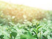 Feld des grünen Tees auf dem Berg Lizenzfreie Stockfotografie