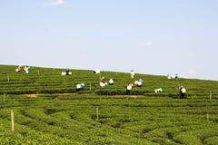 Feld des grünen Tees mit blauem Himmel Lizenzfreie Stockfotografie