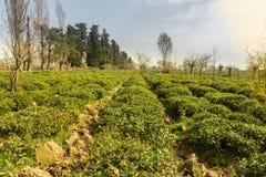 Feld des grünen Tees mit blauem Himmel und Morgen sonnen Lichteffekt Frühlingszeitlandschaft und -hintergrund lizenzfreies stockfoto