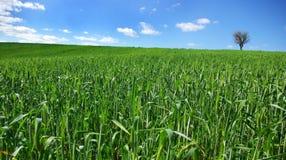 Feld des grünen Weizens mit Baum. Lizenzfreies Stockbild