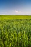 Feld des grünen Weizens und des blauen Himmels Stockbilder