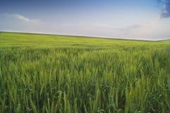 Feld des grünen Weizens und des blauen Himmels Lizenzfreies Stockfoto