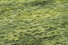 Feld des Grases im Wind Stockfotos