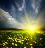 Feld des Grases mit Löwenzahn im Sonnenuntergang Lizenzfreie Stockfotos