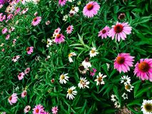 Feld des Grases und der bunten Blumen Stockfotografie