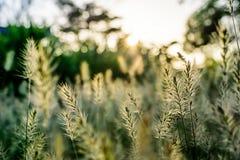 Feld des Grases während des Sonnenuntergangs Lizenzfreies Stockfoto