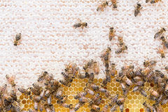 Feld des Honigs und des offenen Nektars Stockbild