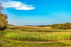 Feld des jungen grünen wachsenden Mais unter blauem Himmel Stockbild