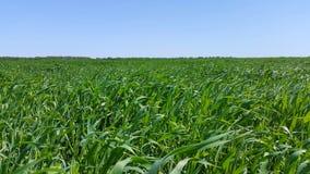 Feld des jungen grünen Weizens Lizenzfreie Stockbilder