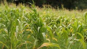 Feld des jungen Mais stock video