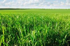 Feld des jungen Weizens Lizenzfreie Stockfotografie